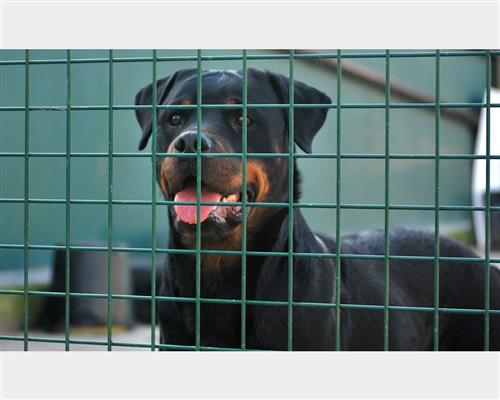 Rottweiler  femmina nero , pelo  liscio , mantello  marcature (markings)