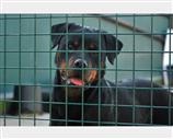 Rottweiler a Milano
