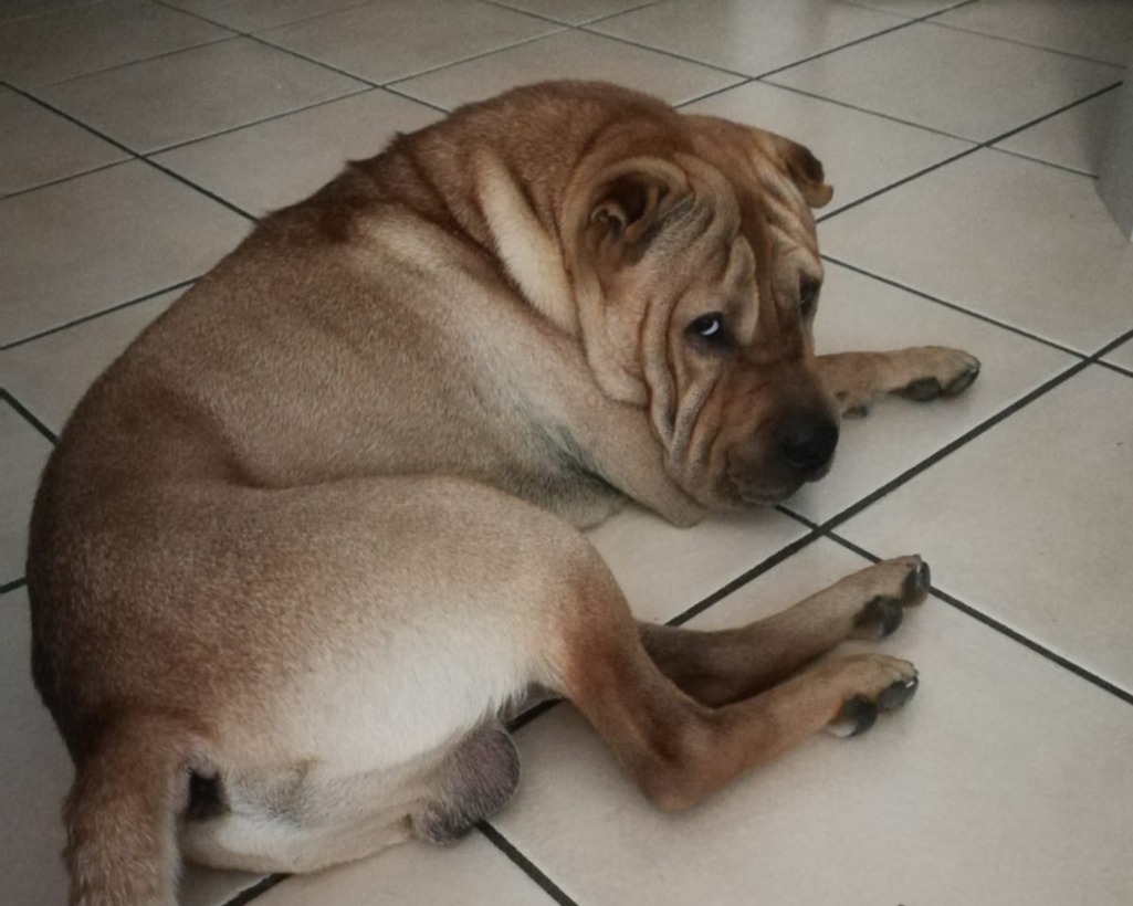 Cercasi famiglia per due sharpei un maschio e una regalo for Cercasi in regalo