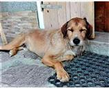 Spinone a Vicenza