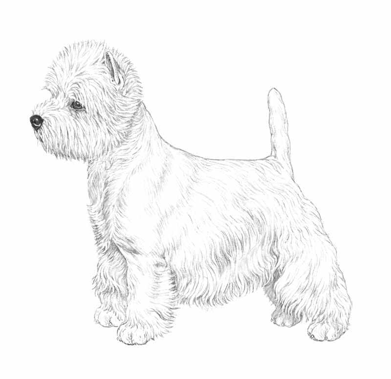 razza West Highland White Terrier