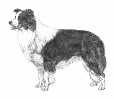 razza Border collie