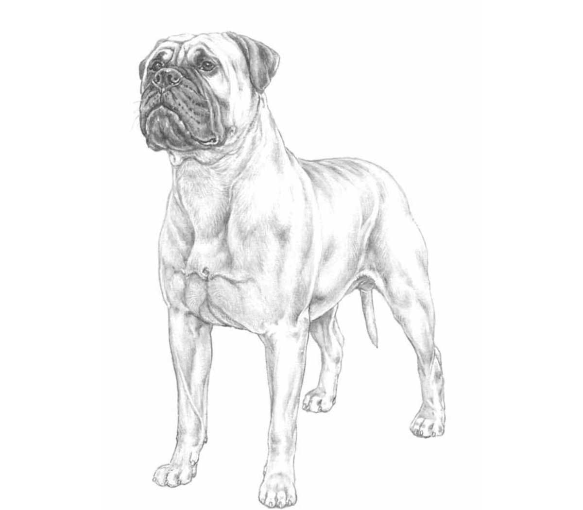 razza Bullmastiff