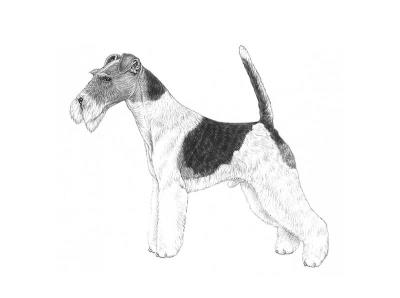 razza Fox Terrier