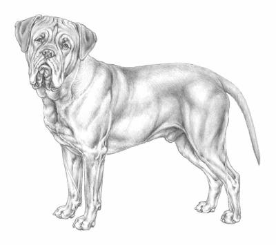 razza Dogue de Bordeaux