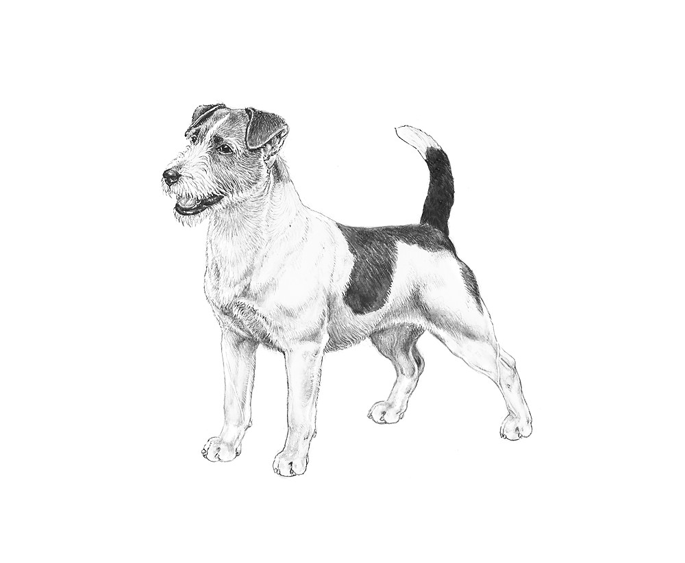 razza Jack Russell Terrier