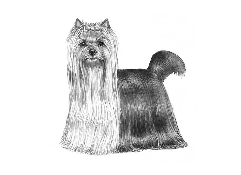 razza Yorkshire Terrier