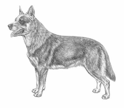 razza Australian Cattle Dog