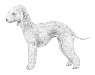 razza Bedlington Terrier