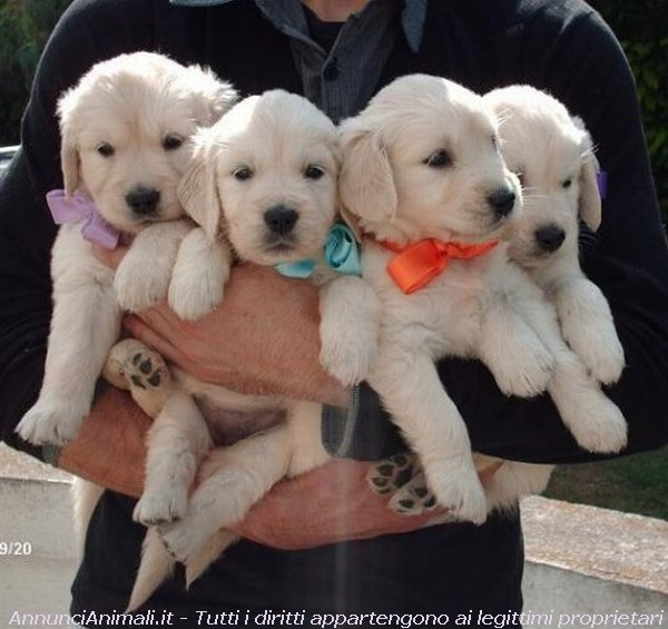 Vendita Cani Taglia Media: Cuccioli Golden Retriever con Pedigree