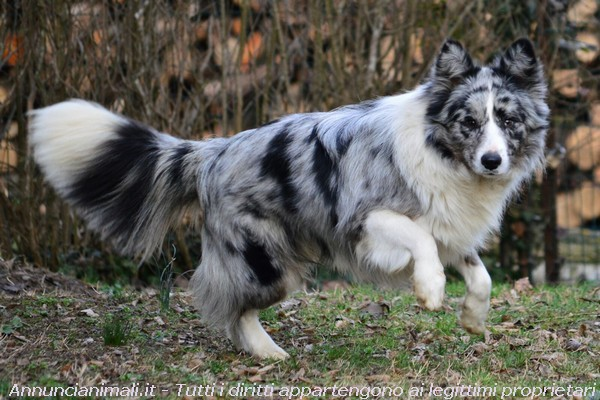Accoppiamento Cani Taglia Media: Border Collie Blue Merle per monte
