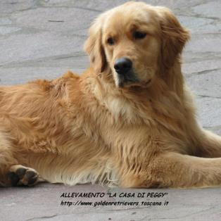 Golden Retriever a Firenze