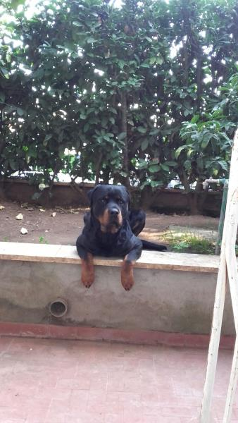 Rottweiler  femmina nero marrone , pelo  liscio , mantello  mantello doppio (double coated)