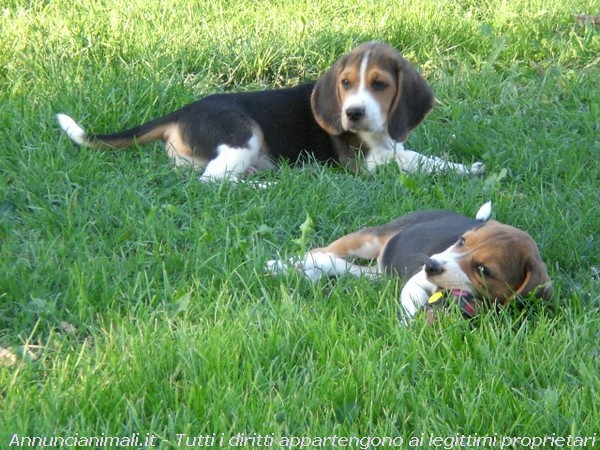 Beagle cuccioli splendidi con pedigree