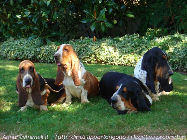 Bassethound a PIACENZA