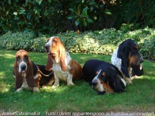 Bassethound a Lodi