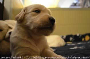 Golden Retriever a Roma