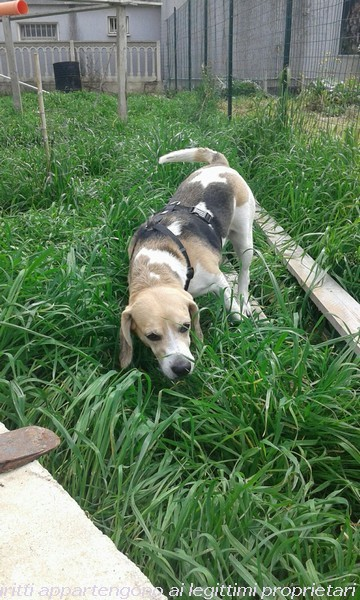 Regalo Cani Taglia Media: WILLY, BEAGLE IN REGALO
