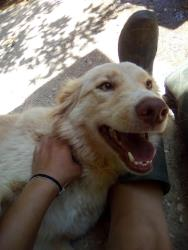 Regalo Golden Retriever. Contatta subito.