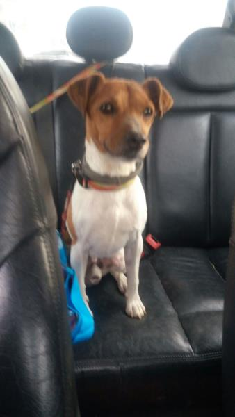 Regalo Jack Russell a Milano
