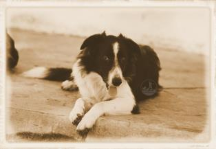 Border Collie a Pisa