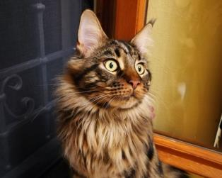 Maine Coon a Prato