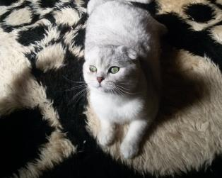 Accoppiamento Gatti Pelo Corto: Scottish fold disponibile per monte