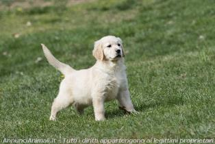 Golden Retriever a Novara