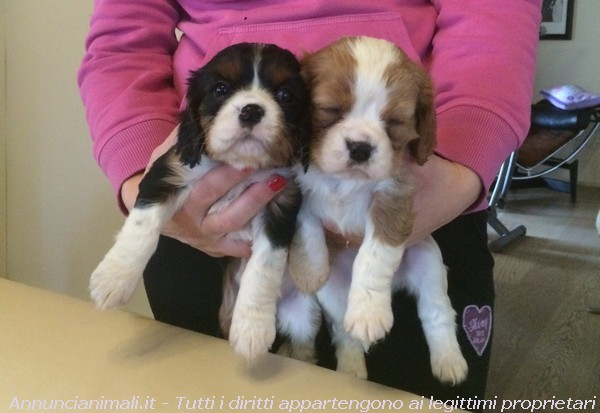 Vendita Cani Taglia Media: Disponibilita cuccioli Golden Retriever
