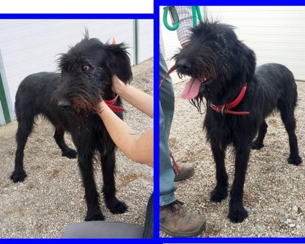 Regalo Cani Taglia Media: SKRAM 2anni  fantastico mix spinone