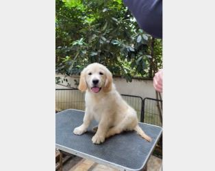 Regalo Cani Taglia Media: Cucciola Golden Retriever