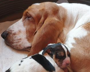 Bassethound a Firenze