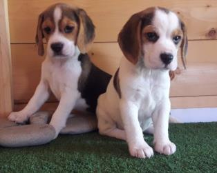 Beagle a Salerno