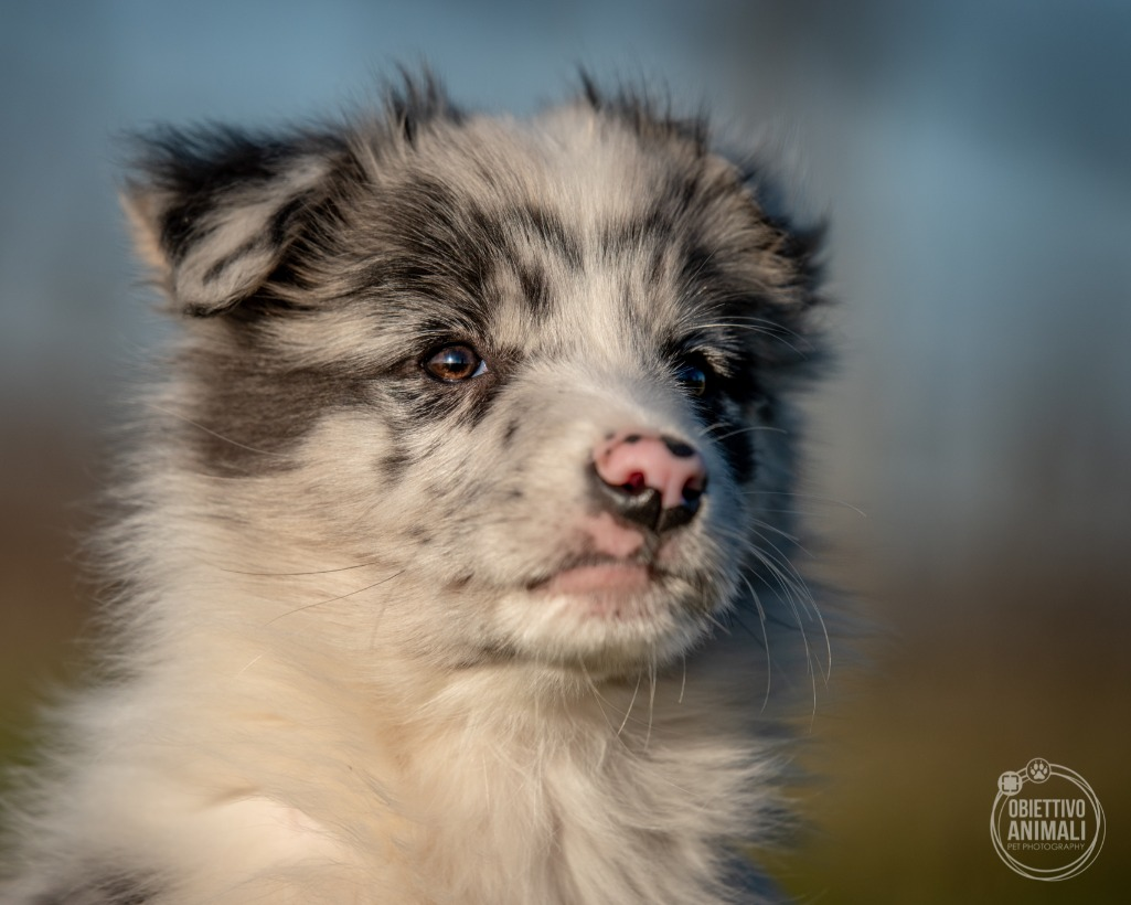 Border Collie a Forli