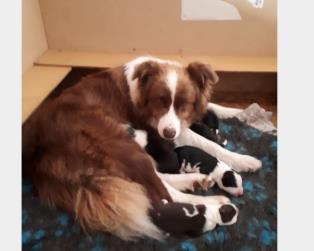 Border Collie a Trento