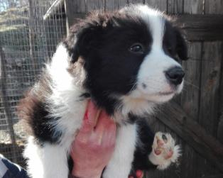 Vendita Cani Taglia Media: Border collie   super gold