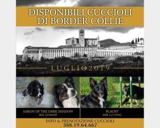 Border Collie a Perugia