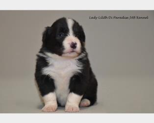 Border Collie a Firenze