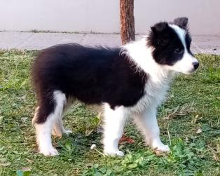 Border Collie a Prato