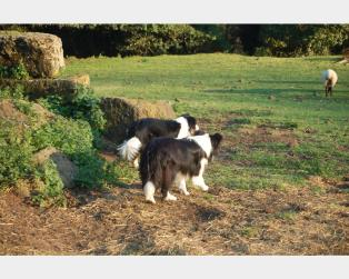 Border Collie a Viterbo