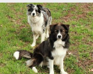 Border Collie a Lecco