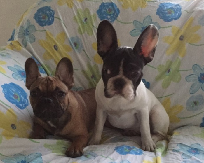 Bouledogue Francese a Vicenza