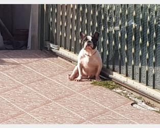 Bouledogue Francese a Messina