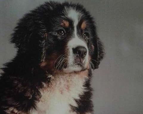 Disponibile cuccioli Bovaro Del Bernese