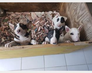 Bull Terrier a Messina