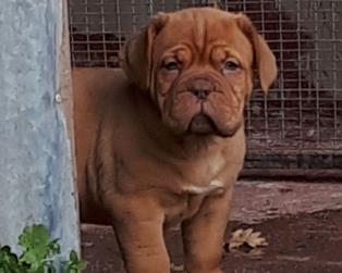 Dogue de Bordeaux a Benevento