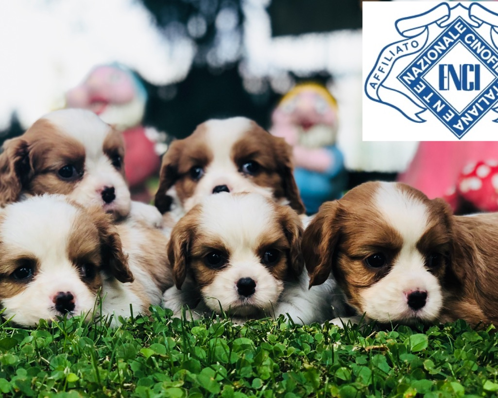 Cavalier King con Pedigree
