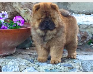 Chow Chow a Messina