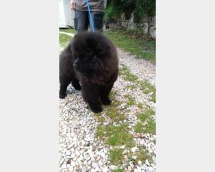 Chow Chow a Perugia