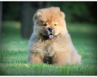 Chow Chow a Salerno